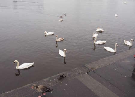 white swan aka Cygnus bird animal in a pond