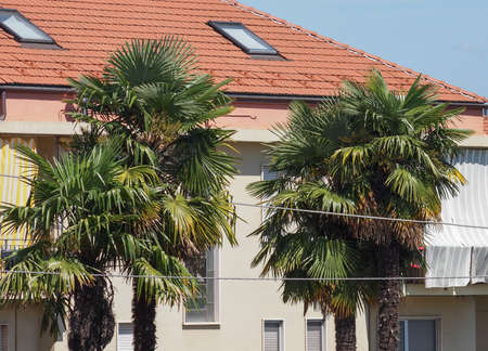 four palm tree (Arecaceae) trees in southern europe Stock Photo