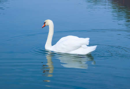 White swan aka Cygnus bird animal swimming in a pond Stock Photo - 89988281
