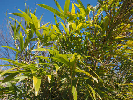 bamboo (Bambuseae) tree leaves useful as a background