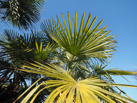 palm tree (Arecaceae) tree leaves useful as a background Stock Photo