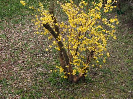yellow forsythia flower aka Border Forsythia flower bloom