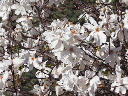 magnolia (Magnolia virginiana) aka Magnolia Sweetbay tree