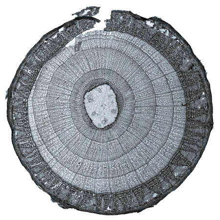 High resolution light photomicrograph of tilia stem cross section seen through a microscope Stock Photo