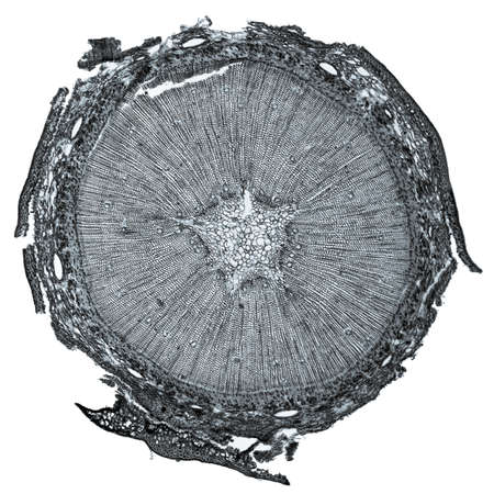 High resolution light photomicrograph of pine tree wood cross section seen through a microscope