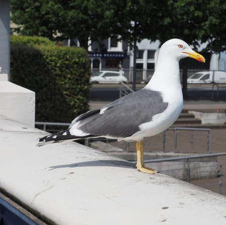 gull seabird aka Seagull or Mew bird animal Stock Photo