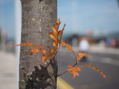 leaves of an oak (Quercus robur) tree