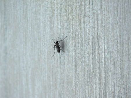 Tiger mosquito (midge fly of family Culicidae) insect animal on a wall indoor Фото со стока