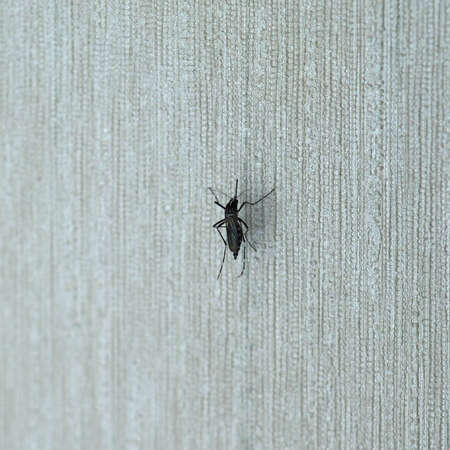 Tiger mosquito (midge fly of family Culicidae) insect animal on a wall indoor Stock Photo