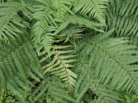 green fern (Leptosporangiate ferns) plant leaves background