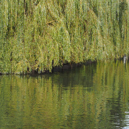 Weeping Willow on the banks of a river