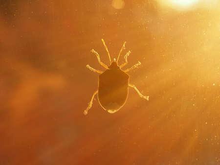 Braun marmorierte Stinkwanze (Halyomorpha halys) Tier des Stammes Euarthropoda Hexapoda, Clade Pancrustacea, Klasse Insecta (Insekten) bei Sonnenuntergang