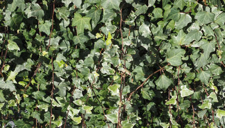 ivy (Hedera) plant useful as a background Stock Photo