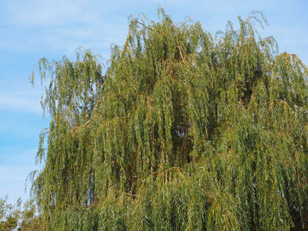 Weeping willow (Salix babylonica) aka Babylon willow tree