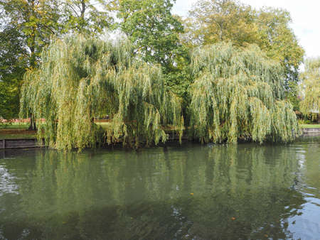 Weeping Willow on the banks of River Cam in Cambridge, UK