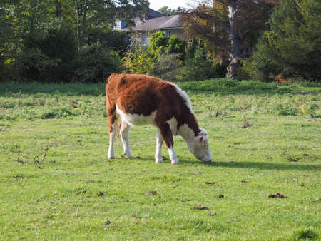 Cattle in Coe Fen meadowland area by the River Cam in Cambridge, UK Stock Photo