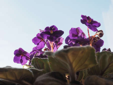 purple flower of plant saintpaulia aka African Violet Stock Photo