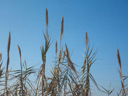 Common reed (Phragmites australis) plants over blue sky