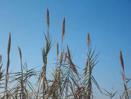 Gemeenschappelijke riet (Phragmites australis) planten over blauwe hemel Stockfoto