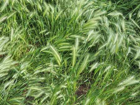 hordeum murinum aka wall barley or false barley grass plant