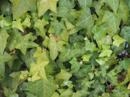 ivy (Hedera) plant useful as a background 写真素材