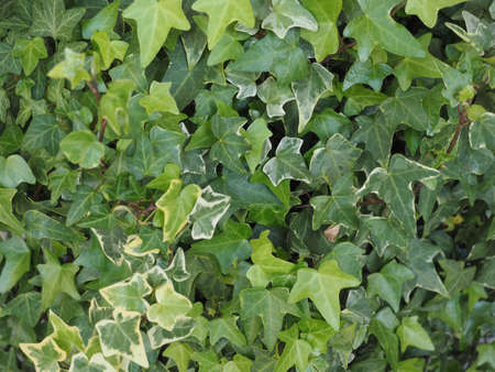ivy (Hedera) plant useful as a background Banco de Imagens
