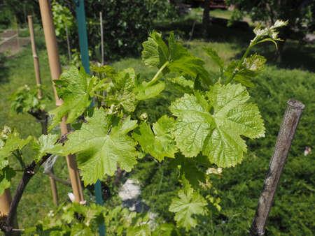 leaves of vitis (Vitaceae) aka vine or grapevine plant