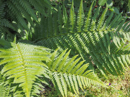 leaves of green fern plant (Leptosporangiate ferns)
