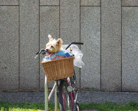 Small Yorkshire Terrier dog (aka Yorkie) in a bicycle basket in hot weather
