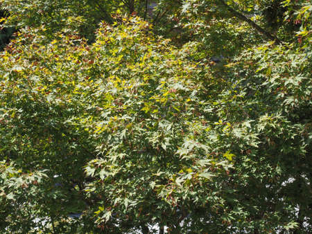 green leaves of red maple tree useful as a background