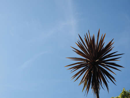 palm tree (Arecaceae) tree over blue sky with copy space Stock Photo