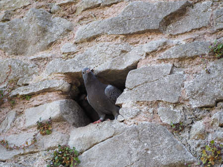 domestic pigeon animal in a hole in stone wall