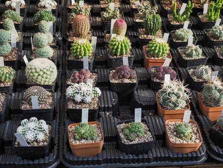many cactus (Angiosperms Eudicots Caryophyllales Cactaceae) plants 写真素材