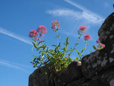 pink flower of plant Valerian (Valeriana officinalis) growing on a rock over blue sky