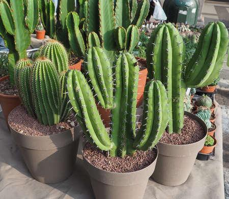 many cactus (Angiosperms Eudicots Caryophyllales Cactaceae) plants Stok Fotoğraf