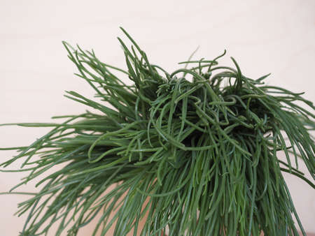 agretti (Salsola soda) aka as opposite-leaved saltwort, Russian thistle or barilla plant vegetables vegetarian and vegan food