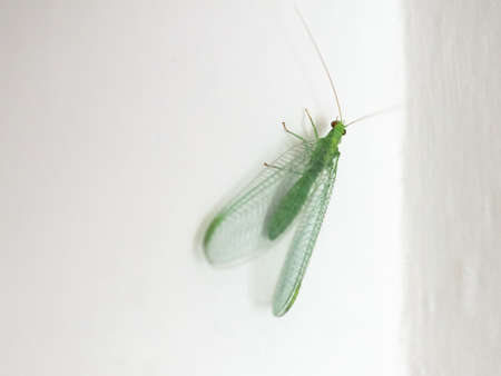 green lacewing (scientific name Chrysopa carnea) of animal! class Insecta (insects)