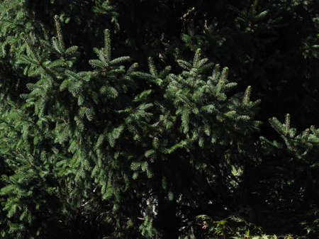 pine tree leaves useful as a natural background texture