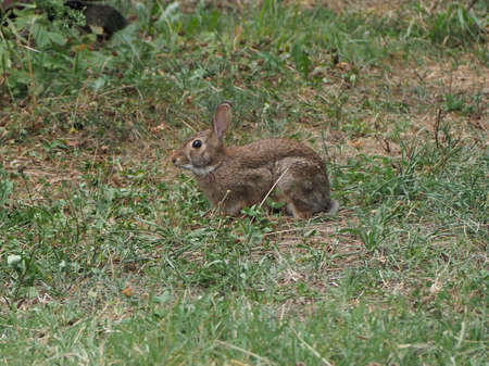 hare (scientific name Lepus timida) in a meadow