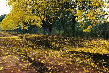 Yellow ipe road