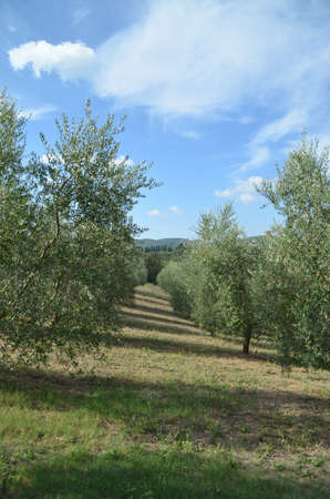 The Tuscan countryside with hills of olive trees and vines photo