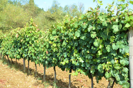 Chianti vineyard landscape in Tuscany photo