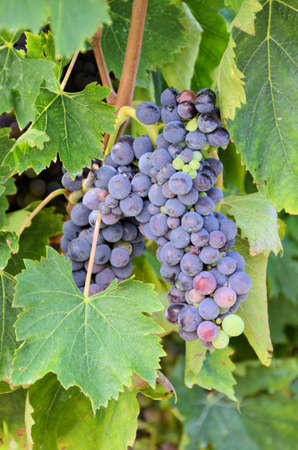 bunch grape of Chianti, Tuscany photo