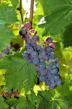 bunch grape of Chianti, Tuscany photo