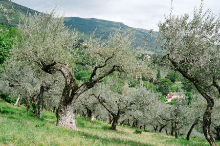 olive groves: Assisi olive groves