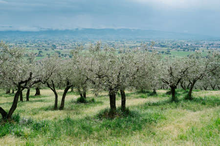 assisi: Assisi olive groves