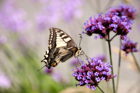macaone: Butterfly on flowers
