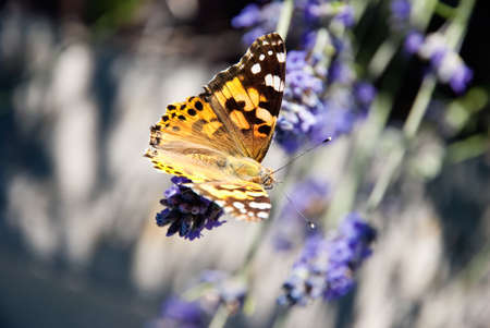 macaone: Butterfly on lavender flowers