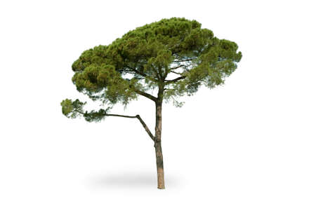 Maritime pine on white background
