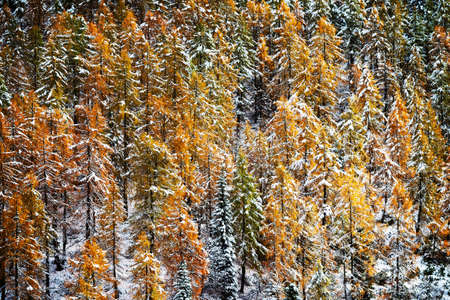 larch: larch forest with snow